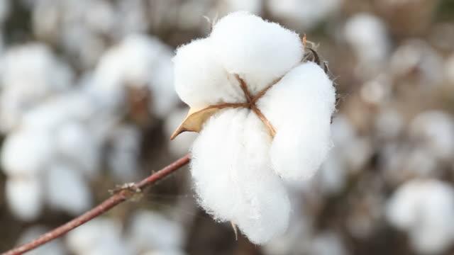 Cotton plant field video