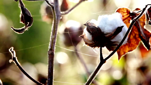 Cotton Plant Swaying through wind in the Morning video