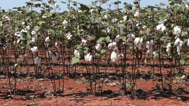 cotton plants - cotton growing bildbanksvideor och videomaterial från bakom kulisserna