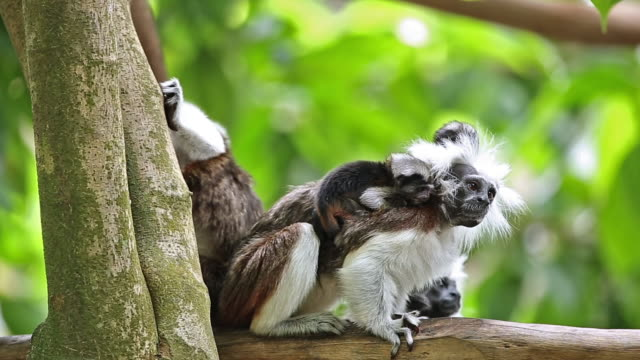Cotton Top Tamarins video