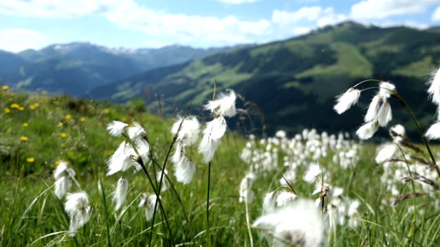 cottongrass on plattenkogel mountain in gerlos high tauern mountains. tirol. - bundesland tirol stock-videos und b-roll-filmmaterial