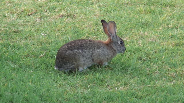 Cottontail 4 - HD video
