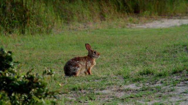 Conejo de cola blanca de conejo - vídeo