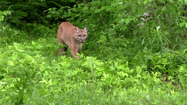 Cougar coming out of the woods