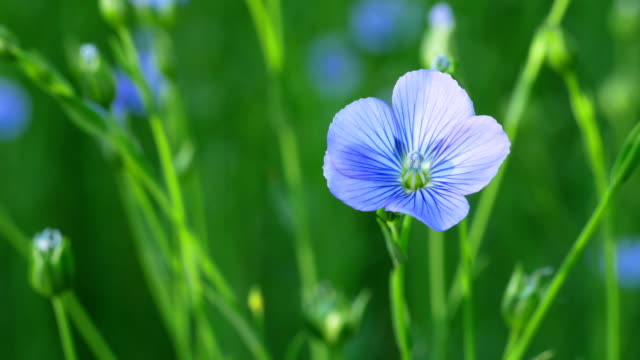 Countryside early summer scenery : flax field blooming video