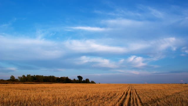 Countryside evening landscape clouds on blue sky over yellow field video