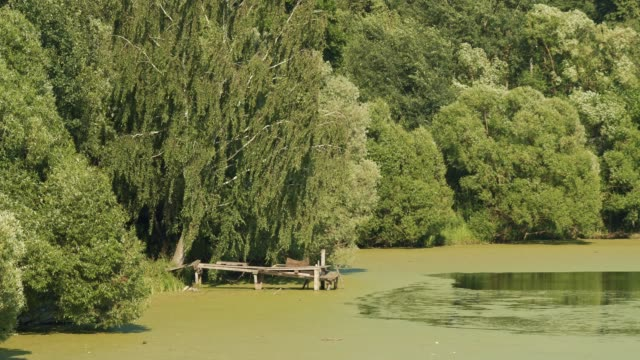 Countryside Russian green landscape with old wooden bridge in overgrown pond under birch tree Countryside Russian green landscape with old wooden bridge in overgrown pond under birch tree and in summer sunny day. Telephoto lens shot duckweed stock videos & royalty-free footage