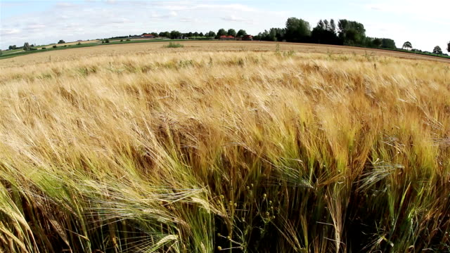Countryside summer scenery : wheat field ready to harvest video