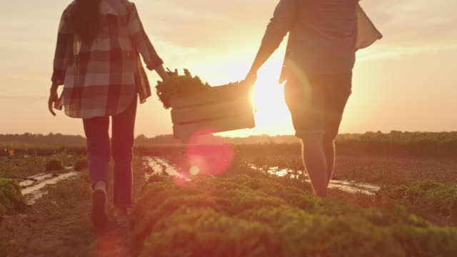 SLO MO Couple carries a crate full of vegetables across a field at sunset Slow motion shot of an unrecognizable couple carries a crate full of freshly picked vegetables across a field at sunset. Shoot in 8K resolution. lettuce stock videos & royalty-free footage
