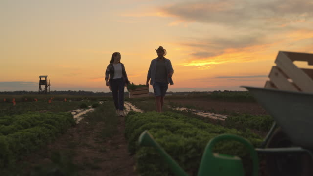 SLO MO Couple harvesting fresh vegetables in the field at sunset