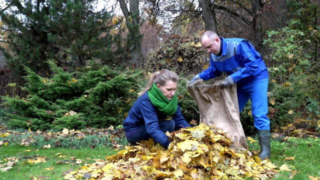Couple in colorful clothes put raked leaves in big bag. FullHD video