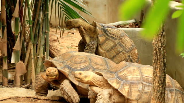 Couple in Love Turtles (Aldabras) mating tortoise shell stock videos & royalty-free footage