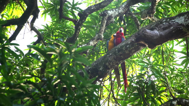 Couple Macaw parrot resting on the treetop video