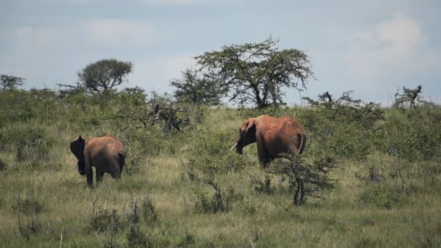 A Couple Of African Bush Elephant  In The Core Of Savannah In Kenya Under Summer Weather. -wide shot