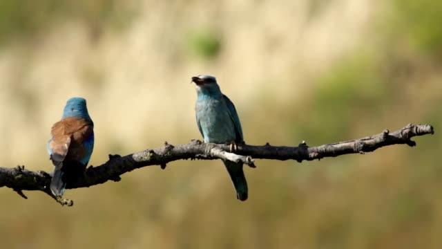 vidéos et rushes de couple d'oiseaux rouleaux européenne perching sur la succursale - nageoire caudale