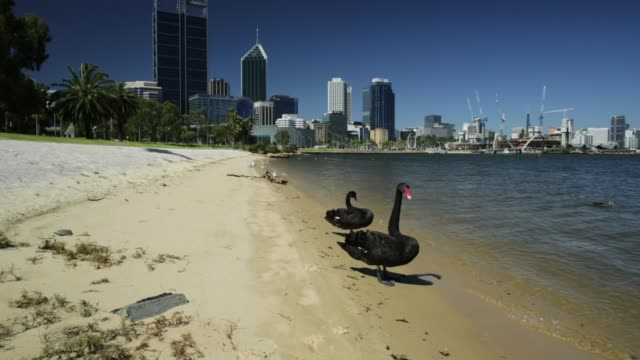couple of black swans - western australia stock videos & royalty-free footage