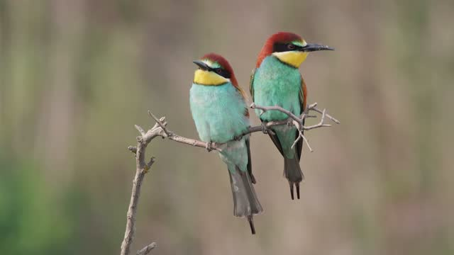 Couple of european bee-eaters landing on a twig with a bee in beak and eating it