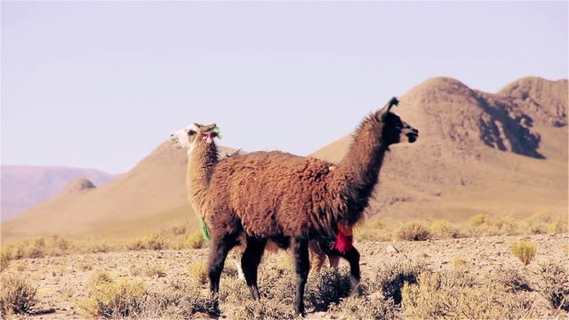 Couple Of Llamas In The Altiplano. Couple of Llamas in the Altiplano. Slow Motion Shot. Full HD. south stock videos & royalty-free footage