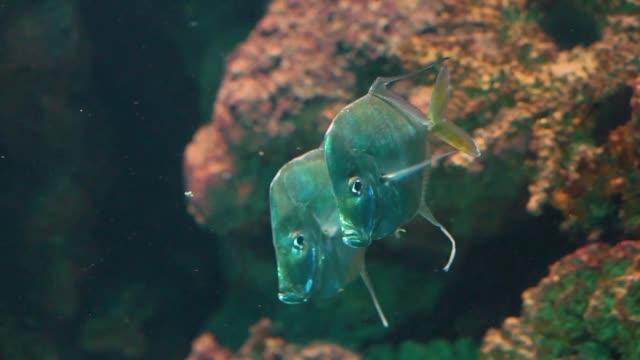 su, komik gümüş düz balık, atlantik okyanusu tropikal specie birlikte yüzme lookdown balıklar çift - i̇htiyoloji stok videoları ve detay görüntü çekimi