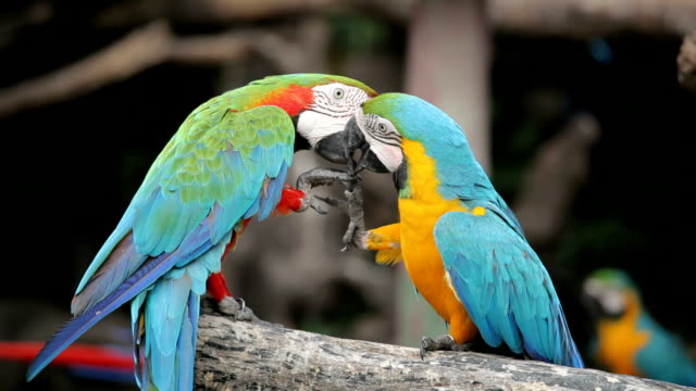 couple of macaw parrots in nature video