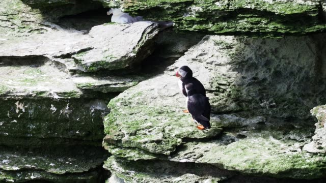 Couple of puffins chasing each other and jumping on a rock cliff