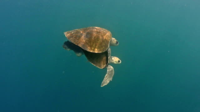 Couple de Accouplement des tortues de mer dans la mer. - Vidéo
