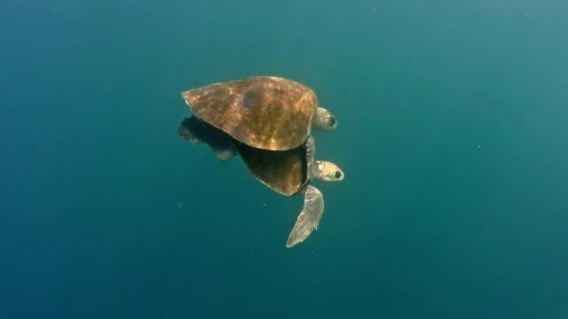Casal de tartarugas marinhas acasalamento no mar. - vídeo