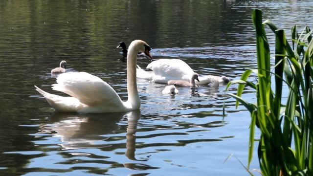 Couple of swans swimming in a pond with their cygnets video