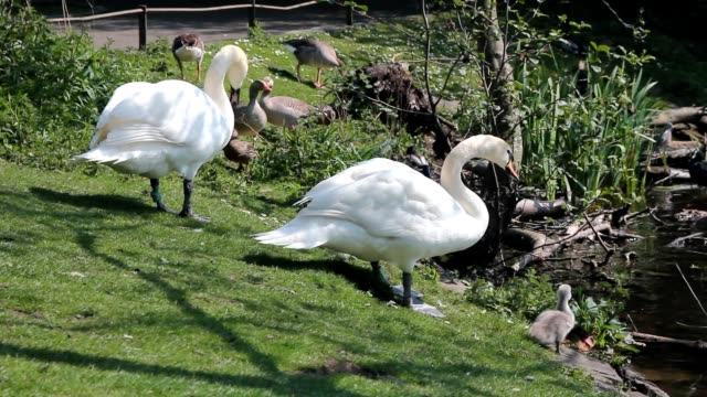 Couple of swans with little cygnets video
