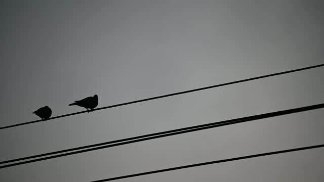 Couple pigeons are having sex on the top wire