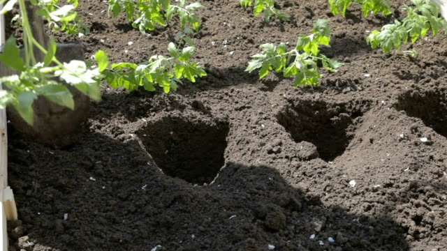 TL couple stamping tomato seedlings into rich black soil video