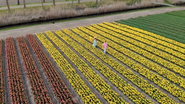 couple walking in flower field during Spring in the Netherlands, boy and girl in Tulip field, men and woman in colorful lines of flowers in the Noordoostpolder Holland