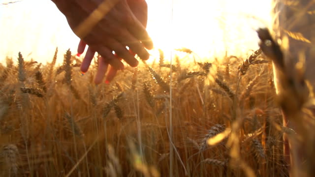 HD SUPER SLOW-MOTION: Couple Walking In Wheat Field HD1080p: SUPER SLOW-MOTION shot of a young couple holding hands while walking in a field of wheat at sunset. Camera Stabilization Shot. love emotion stock videos & royalty-free footage