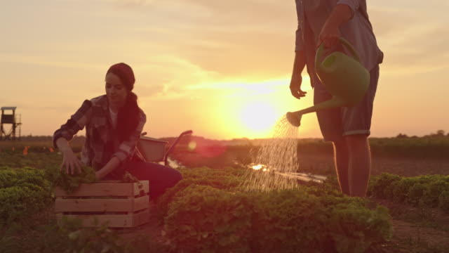 SLO MO Couple working in a field with fresh vegetables at sunset