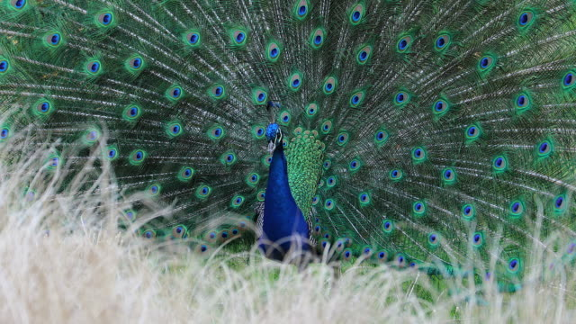 Courting Display of a Male Indian Blue Peacock - vídeo