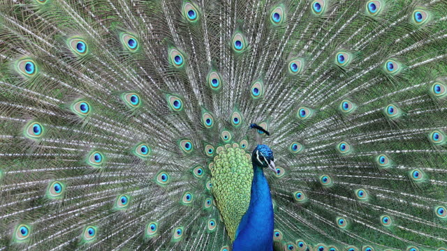courting display of a male indian blue peacock - peacock filmów i materiałów b-roll