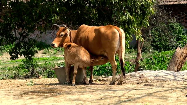 vidéos et rushes de veau et vache  - veau