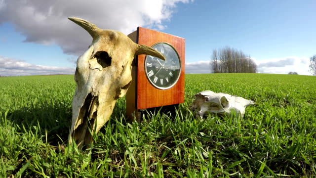 Cow and horse skulls on spring wheat field and  clock, time lapse video