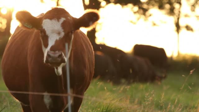 vídeos de stock e filmes b-roll de vaca na hora mágica - rancho quinta