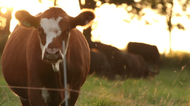 vídeos de stock e filmes b-roll de vaca na hora mágica - gado animal doméstico