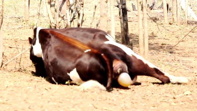 Cow calving video