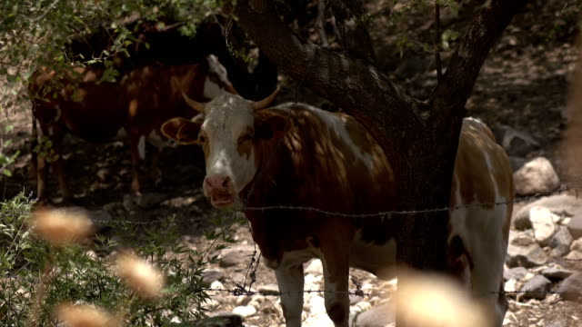 Cow Chewing Cud Behind Barbed Wire Fence video