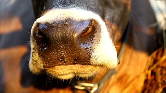 Cow chewing video