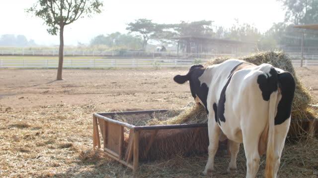 朝日光を浴びて食べる牛 ビデオ