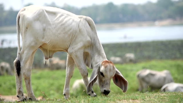 Cow eating grass in ranch field near lake video