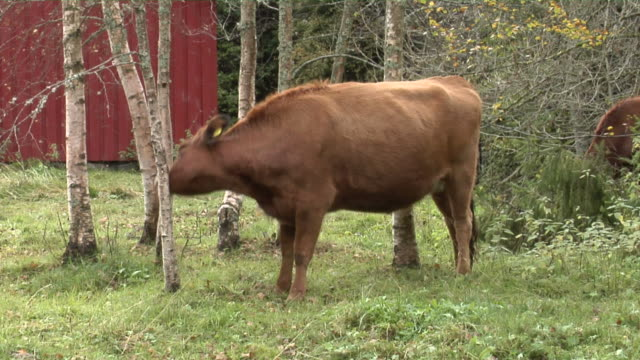 Cow eating grass. video