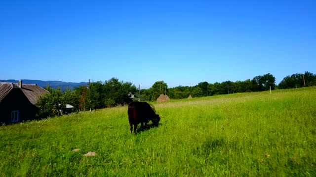 Cow Eating In Pasture video