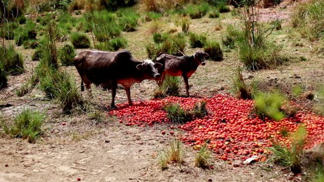 ko äter tomat - haryana bildbanksvideor och videomaterial från bakom kulisserna