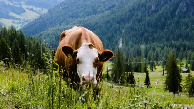 Cow eats grass in a meadow surrounded by mountains and pine tree forest under the sunlight - close up view