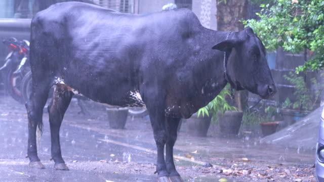 Cow Enjoying Rainfall video